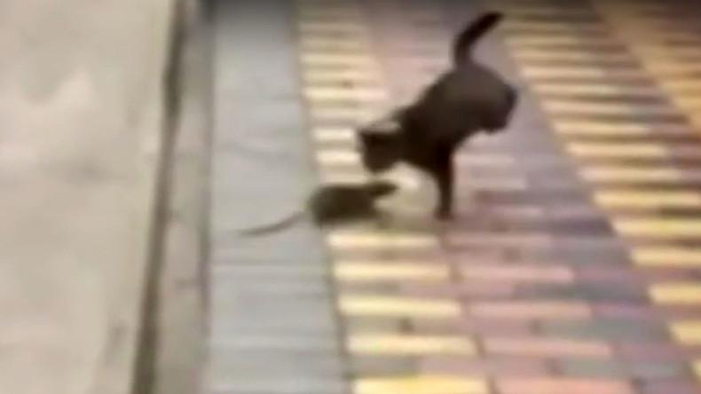 Scaredy-cat: Gutsy rodent fends off prowling feline (VIDEOS)