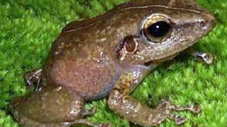 Lovelorn invasive frogs threaten California house prices (VIDEO)