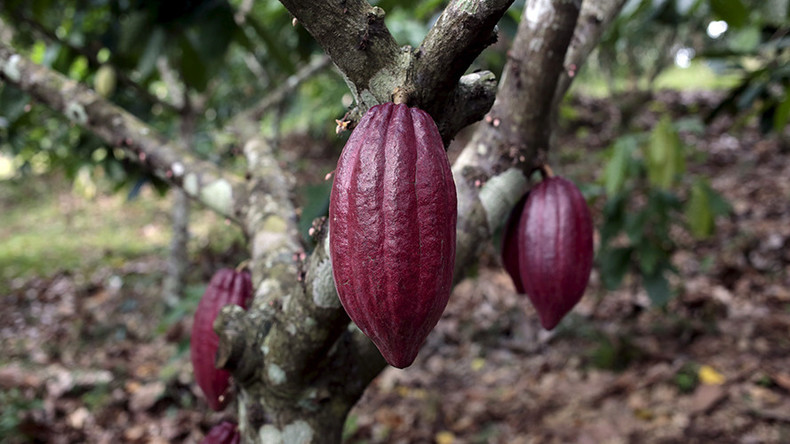War on chocolate: Fungus that attacks cocoa plants reproduces by cloning, study says