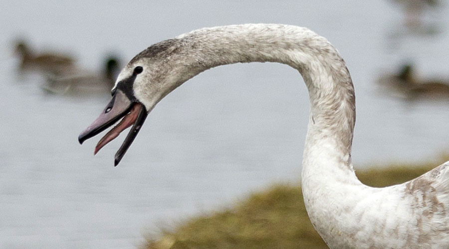 Here we go again: Swan dies after selfie with tourist