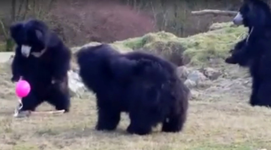 Tickled pink: Huge bears fascinated by tiny bright balloon (VIDEO)