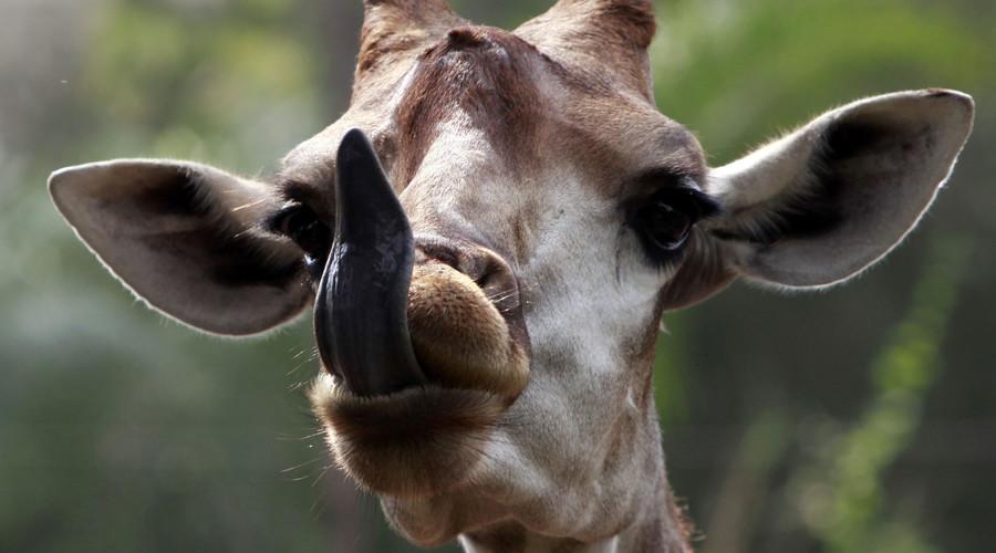 Idiot giraffe traps head in fake tree at Japanese zoo (VIDEO)