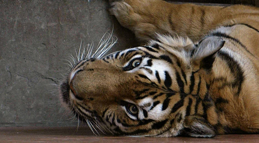 Tigers 'starved to death' to make $500 aphrodisiac wine with their bones