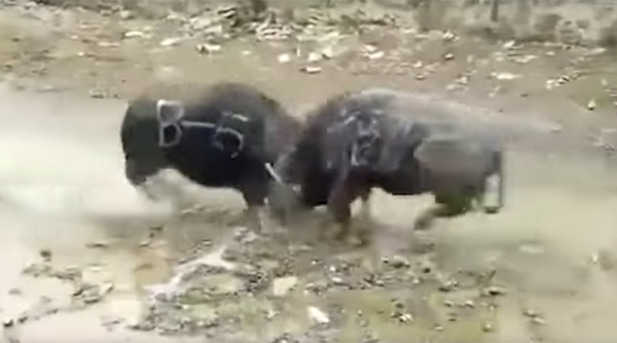 Rampaging buffaloes kill each other instantly in head-on collision (VIDEO, GRAPHIC)