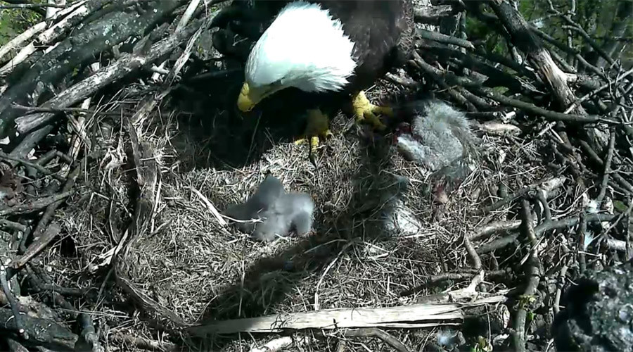 Circle of life: 4 more bald eagles found dead in Delaware, 2 hatch in nation's capital