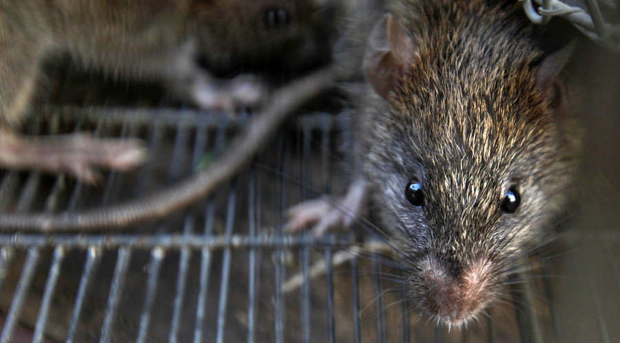 Baltimore study links rats to depression