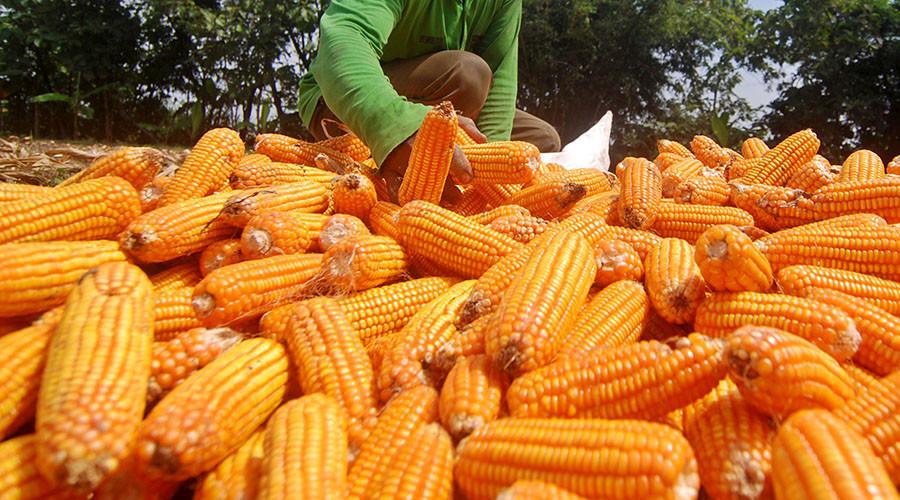 USDA okays Monsanto's herbicide-resistant GMO corn w/o permits