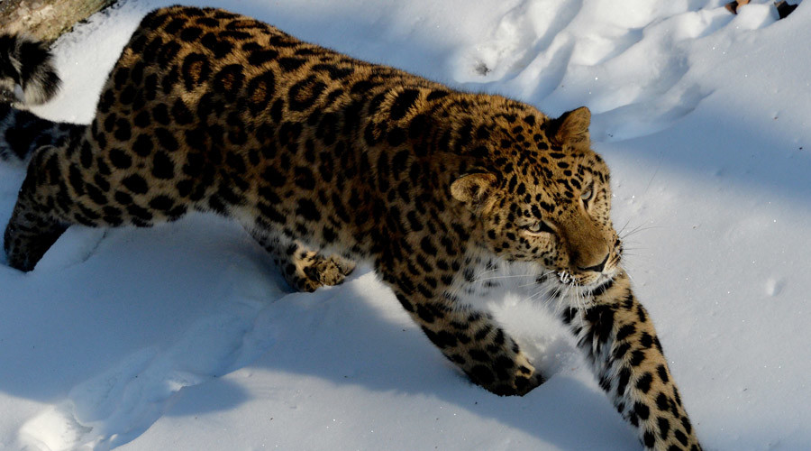 Tunnel to save leopards: Russia diverts highway underground to protect endangered species