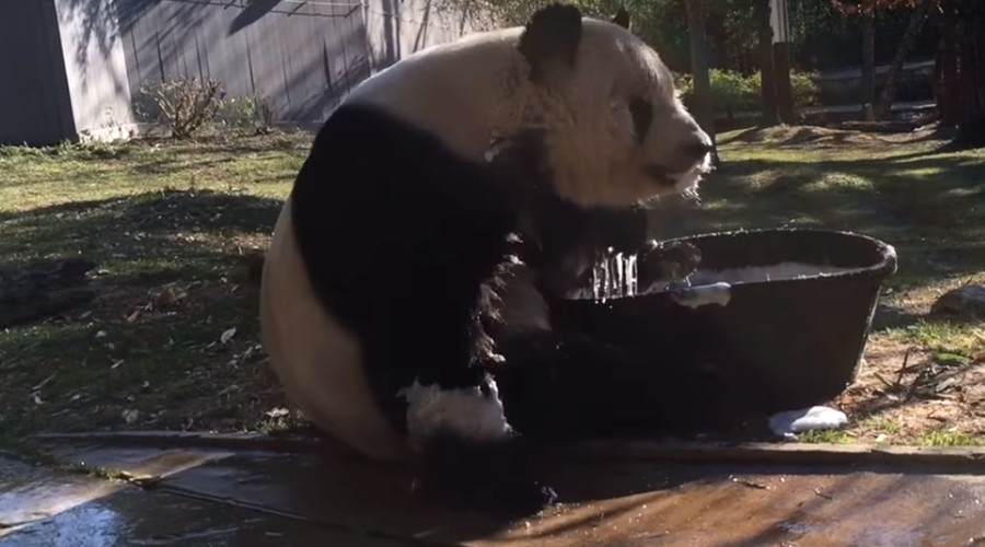 Rub-a-dub-dub: Giant panda takes bubble bath in tiny tub (VIDEO)