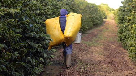 A worker walks after picking coffee beans from coffee plants during a harvest at a farm in Esprito Santo do Pinhal, 200 km (124 miles) east of Sao Paulo. © Nacho Doce