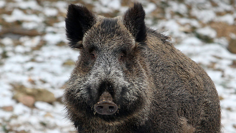 Wild radioactive Fukushima boars breed like rabbits, ravage local countryside