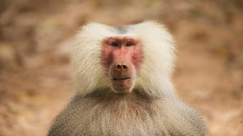 Record breaking: Pig hearts stay alive in baboons for more than 2 years