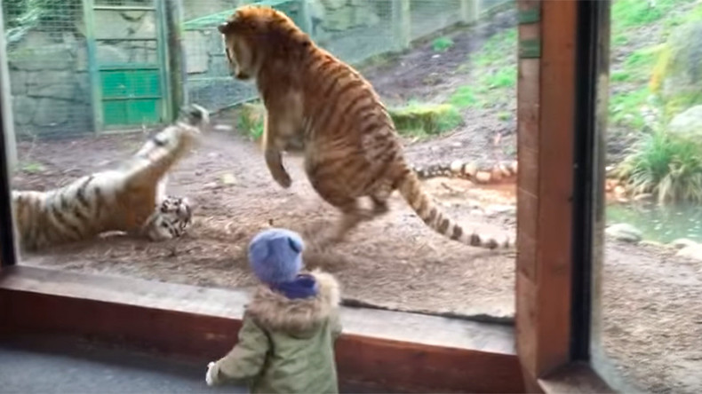 Toddler beats swift retreat after 'cuddly' tigers turn nasty (VIDEO)