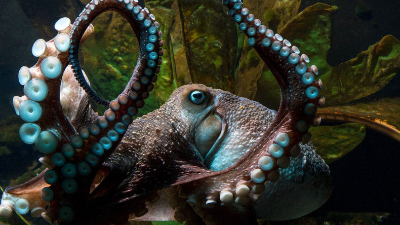 Aquarium fugitive 'Inky' and four other daring octopus manuevers (PHOTOS, VIDEOS)