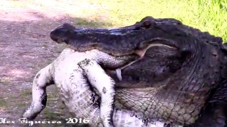 Circle of life: Gator eats another gator