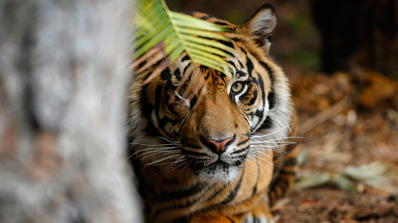 Endangered tiger kills a woman at Palm Beach Zoo in Florida