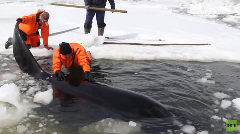 Trapped by ice: 4 killer whales rescued from certain death in Russia's Far East (VIDEO)