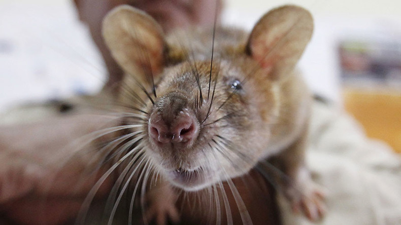 Pest fest: Major US cities struggle with growing rodent problems
