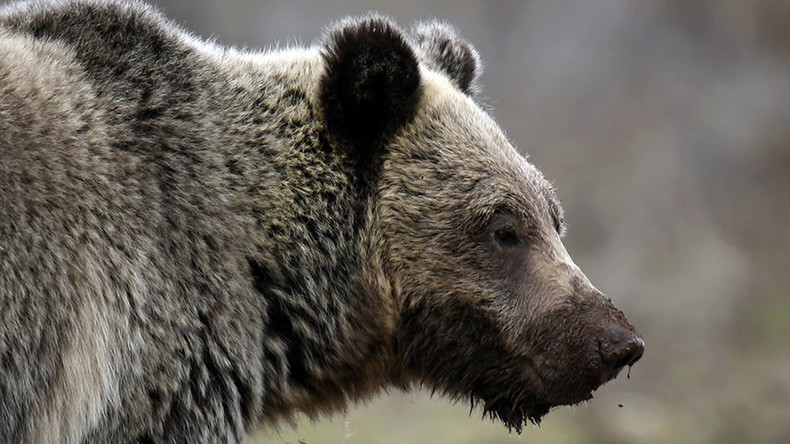 Accusations in beloved Yellowstone grizzly's death provoke tensions with local tribes