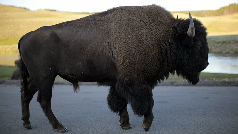 Bison anticipated to become official US mammal, bill awaits Obama's signature