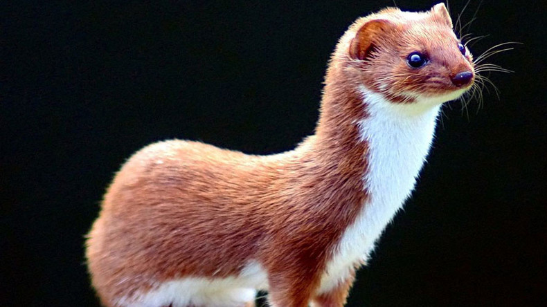Size doesn't matter: Weasel blamed for Large Hadron Collider shutdown