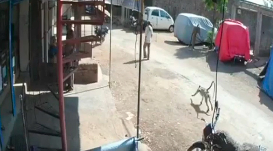 Attack mode: Monkey sneaks up, drop-kicks man to the ground (VIDEO)