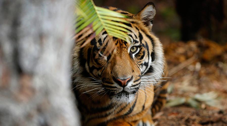 Endangered tiger kills a woman at Palm Beach Zoo in Florida