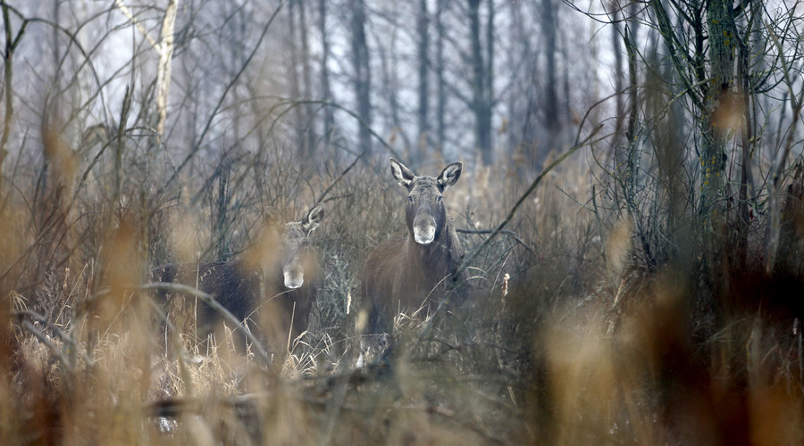 Wildlife thriving without humans in Chernobyl nuclear zone – study (PHOTOS, VIDEO)