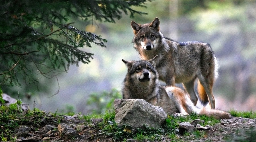16 wolves get death penalty for eating into Wyoming cattle rancher profits