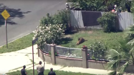 Dazed and confused: Police tranquilize mountain lion prowling LA school (VIDEO)