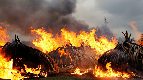 A section of an estimated 105 tonnes of elephant tusks confiscated ivory from smugglers and poachers burns in flames at the Nairobi National Park near Nairobi, Kenya, April 30, 2016. ©  Thomas Mukoya