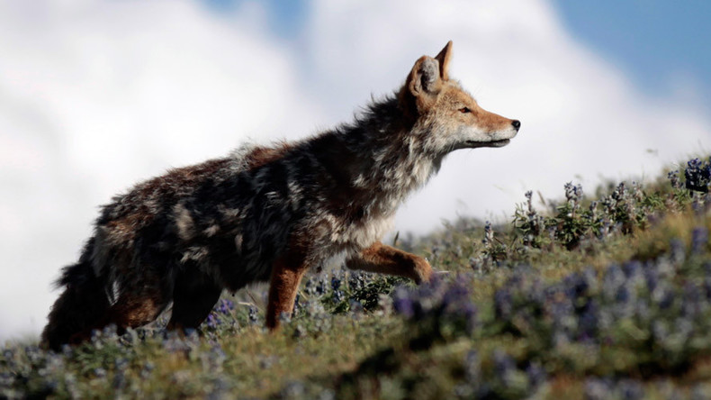 Poop scoopers: National Park Service recruits volunteers for coyote scat sweep