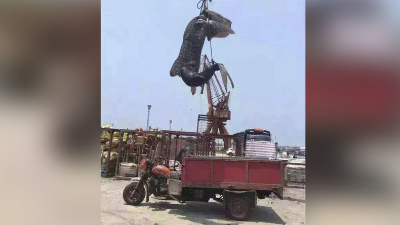 Gentle giant attacked: Rare whale shark hunted, strung up in China (PHOTOS)
