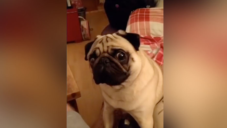 Man arrested after teaching girlfriend's pug to perform Nazi salute (OFFENSIVE)