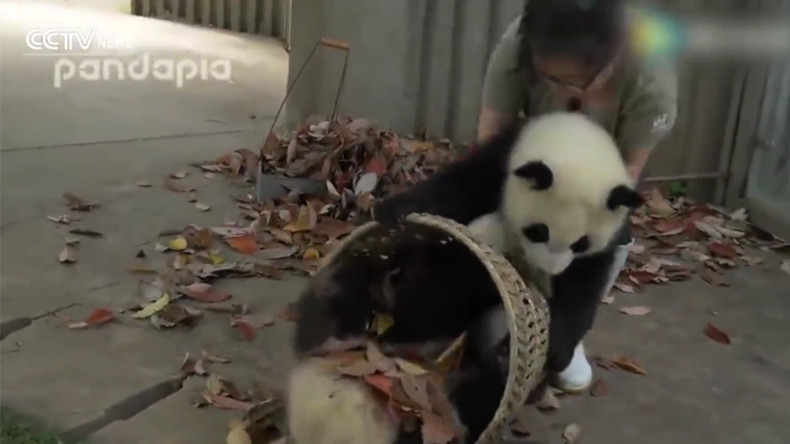Mischievous baby giant pandas cause chaos inside Chinese breeding base (VIDEO)