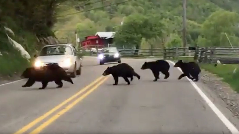 If you go down to the woods today: Bear family goes viral (VIDEO)