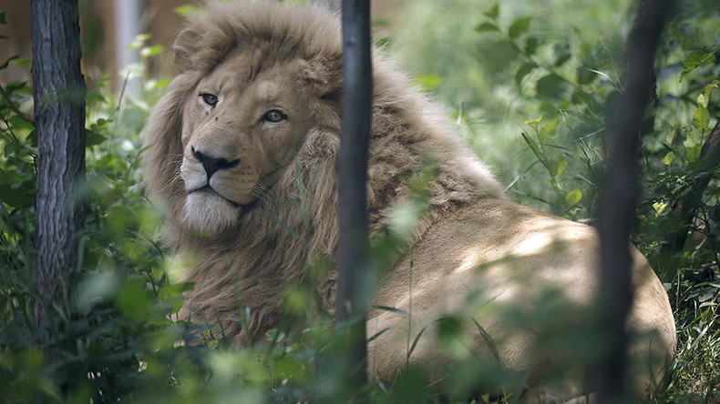 2 lions killed in Chile zoo as they maul naked suicidal man