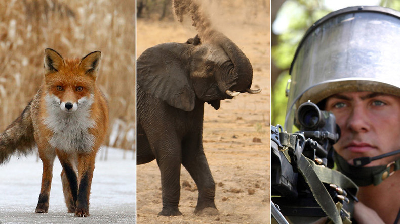 Man vs Wild: British soldiers routed by elephants, cows & foxes