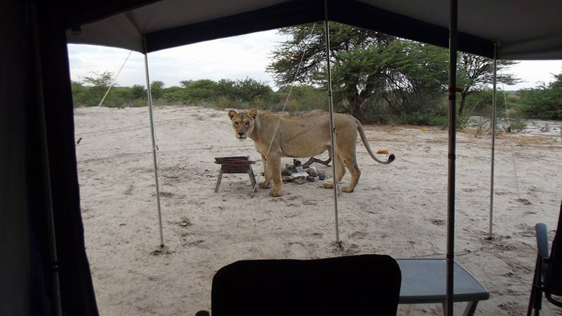 Inches from death: Stunned campers wake to find lions licking their tent (VIDEO)