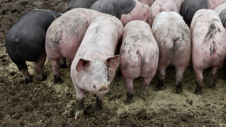 American energy firm looks to power up on pig poo