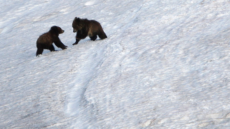 Polar bears & grizzlies are mating – what should we call the result? (POLL)