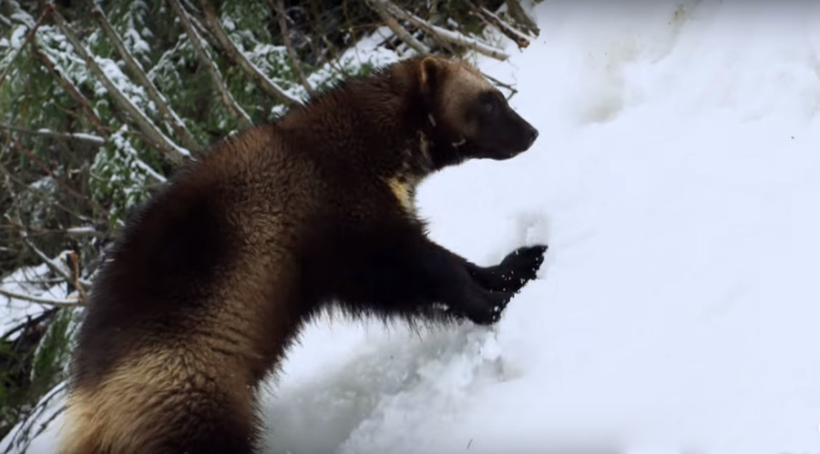 Wildlife 'whisperer' trains wolverines for mountain rescue (VIDEO)