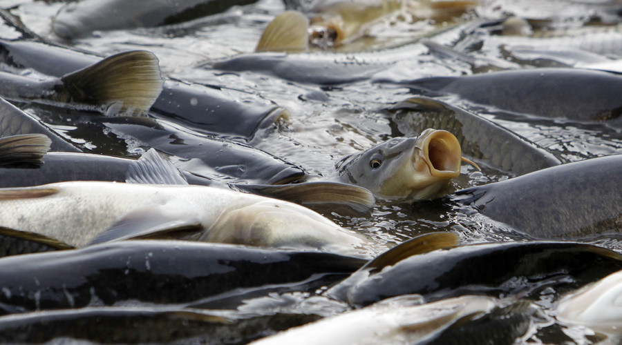 Australia to spend over $11mn to eradicate carps by releasing herpes virus into rivers