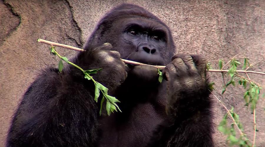 'Parental negligence': Thousands sign petitions condemning killing of Cincinnati Zoo gorilla