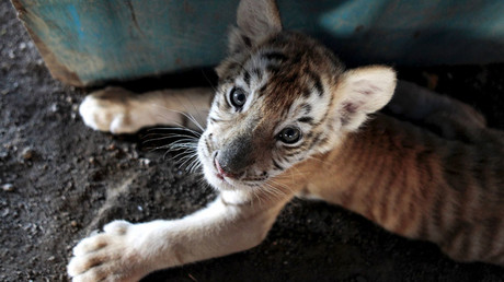 Four tiny tiger cubs found frozen in Vietnam animal smuggling op (GRAPHIC PHOTO)