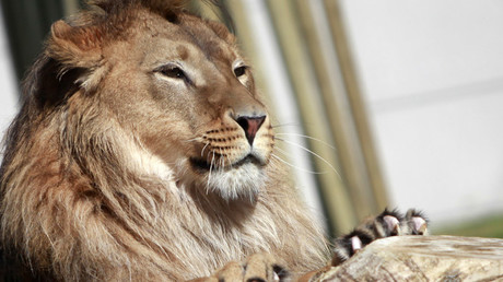 Here, fluffy! Lions, cobras & crocs among 100s of dangerous animals Brits keep as pets