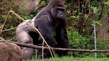 Gorilla Harambe © The Cincinnati Zoo & Botanical Garden