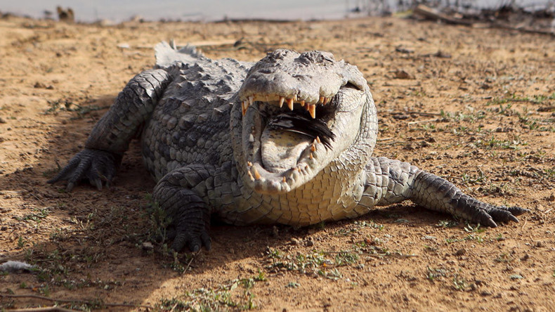 Human remains discovered inside crocodile during search for woman killed in attack