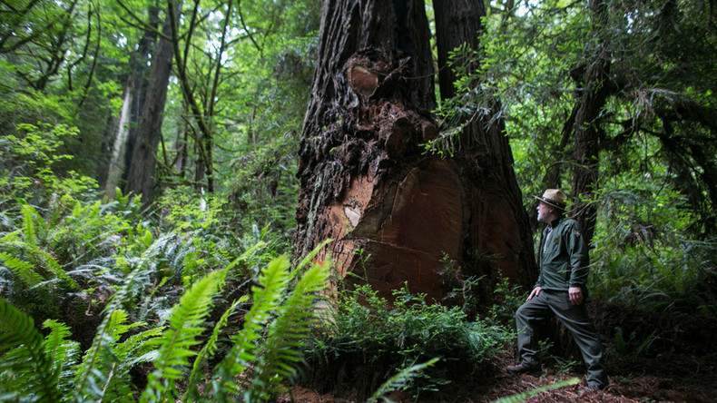 Old growth trees spiked by eco-warriors in Oregon to stop logging