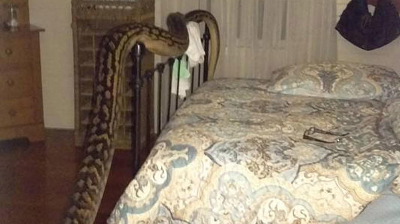 Aussie woman wakes up to 5-meter python in bedroom (VIDEO)